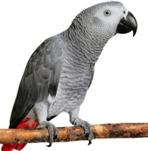 african-grey-parrot-for-sale